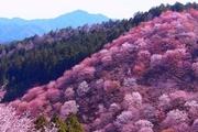 吉野山 桜〔中千本〕