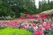 霊 山 寺 バラ庭園